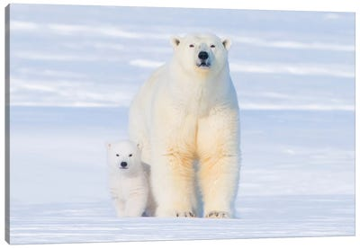 Polar Bear Sow With Spring Cub Newly Emerged From Their Den, Area 1002, Arctic National Wildlife Refuge Canvas Art Print