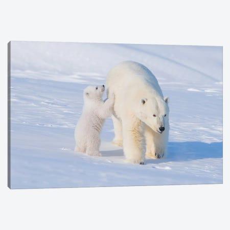 Polar Bear Sow With Spring Cub Newly Emerged From Their Den In Early Spring, Area 1002, ANWR, Alaska Canvas Print #KAZ32} by Steve Kazlowski Canvas Artwork