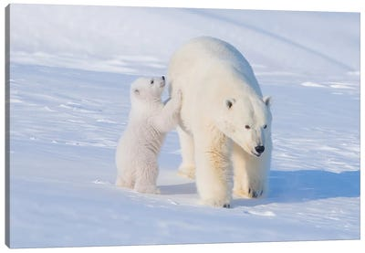 Polar Bear Sow With Spring Cub Newly Emerged From Their Den In Early Spring, Area 1002, ANWR, Alaska Canvas Art Print