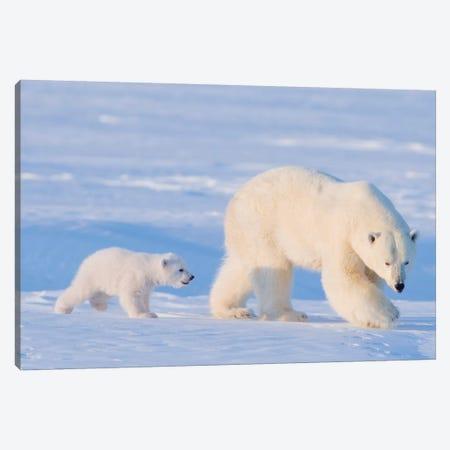 Polar Bear Sow With Spring Cub In Early Spring, Area 1002, Arctic National Wildlife Refuge Canvas Print #KAZ33} by Steve Kazlowski Canvas Artwork