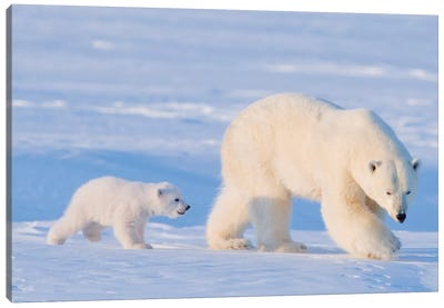 Polar Bear Sow With Spring Cub In Early Spring, Area 1002, Arctic National Wildlife Refuge Canvas Art Print