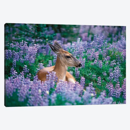 Black-Tailed Doe Resting In A Bed Of Lupines, Olympic National Park, Washington, USA Canvas Print #KAZ3} by Steve Kazlowski Canvas Wall Art