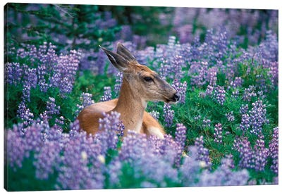 Black-Tailed Doe Resting In A Bed Of Lupines, Olympic National Park, Washington, USA Canvas Art Print
