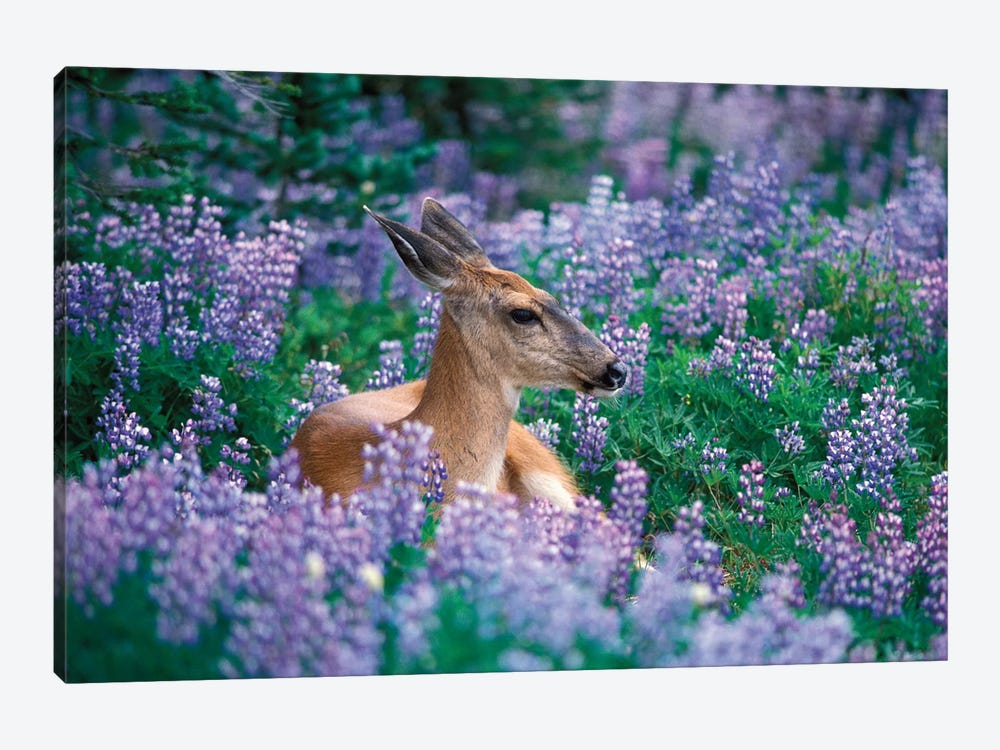 Black-Tailed Doe Resting In A Bed Of Lupines, Olympic National Park, Washington, USA by Steve Kazlowski 1-piece Canvas Art