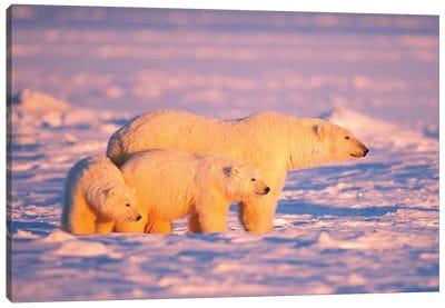 Polar Bear Sow With Spring Cubs On The Frozen Arctic Ocean, 1002 Coastal Plain Of The Arctic National Wildlife Refuge, Alaska Canvas Art Print