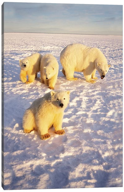Polar Bear Sow With Spring Triplets On Frozen Arctic Ocean In 1002 Area Of The Arctic National Wildlife Refuge, Alaska Canvas Art Print