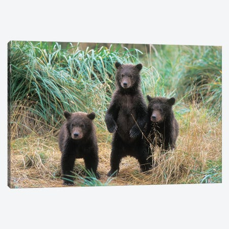 Brown Bear, Ursus Arctos, Grizzly Bear, Ursus Horribils, Three Spring Cubs In Katmai National Park On The Alaskan Peninsula Canvas Print #KAZ7} by Steve Kazlowski Canvas Print