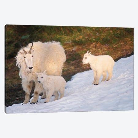 Mountain Goats, Oreamnos Americanus, Mother And Kids On Snow, Exit Glacier, Kenai Fjords National Park, Alaska Canvas Print #KAZ8} by Steve Kazlowski Canvas Art
