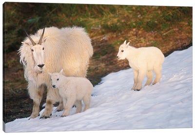 Mountain Goats, Oreamnos Americanus, Mother And Kids On Snow, Exit Glacier, Kenai Fjords National Park, Alaska Canvas Art Print