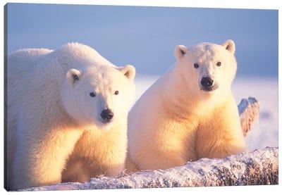 Polar Bear Sow With Cub On Pack Ice Of 1002 Coastal Plain, Arctic National Wildlife Refuge, Alaska Canvas Art Print
