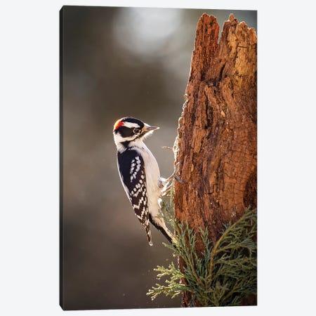Downey Woodpecker Canvas Print #KBU27} by Karen Burke Canvas Print