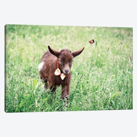 Dwarf Goat Bow Tie Canvas Print #KBU28} by Karen Burke Canvas Artwork