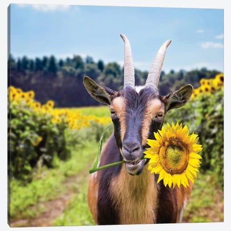 Goat In Sunflowers Canvas Print #KBU35} by Karen Burke Canvas Art