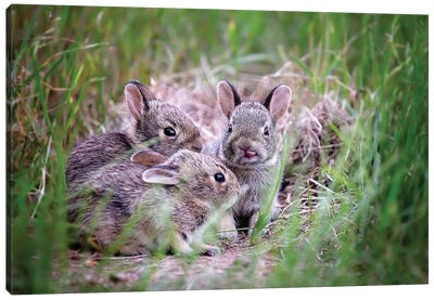 Baby Bunnies Canvas Art Print