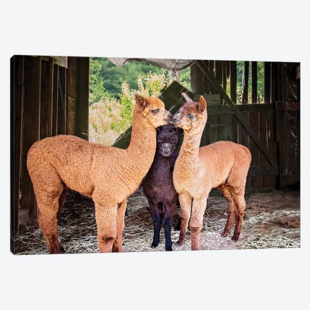 Three Alpaca Babies Canvas Print #KBU69} by Karen Burke Canvas Wall Art