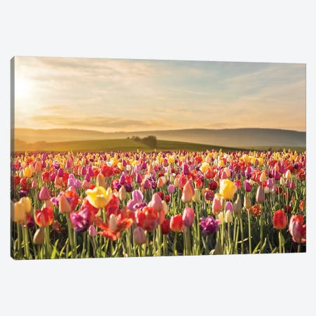 Tulip Field Sunrise Canvas Print #KBU75} by Karen Burke Canvas Artwork