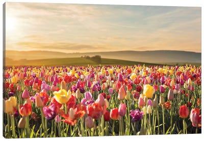 Tulip Field Sunrise Canvas Art Print