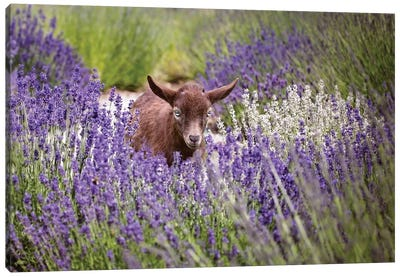 Baby Goat In Lavender Canvas Art Print