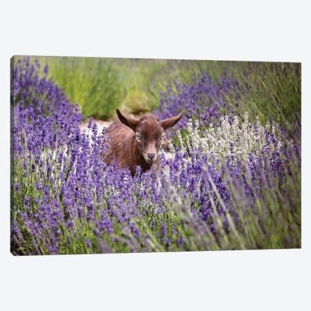 Baby Goat In Lavender 3-Piece Canvas #KBU7} by Karen Burke Art Print