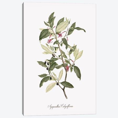 Botanical Agapanthus Canvas Print #KDO15} by Kelly Donovan Canvas Art