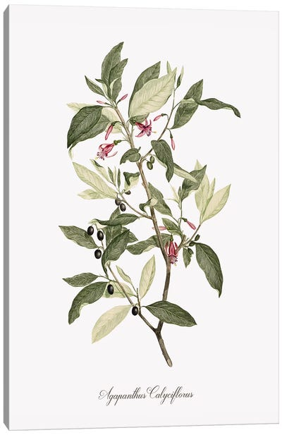 Botanical Agapanthus Canvas Art Print