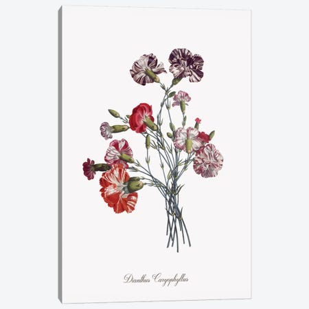 Botanical Carnation Canvas Print #KDO17} by Kelly Donovan Canvas Art