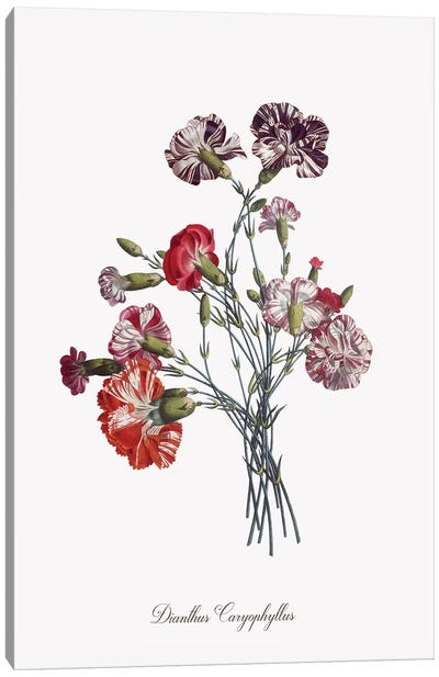 Botanical Carnation Canvas Art Print