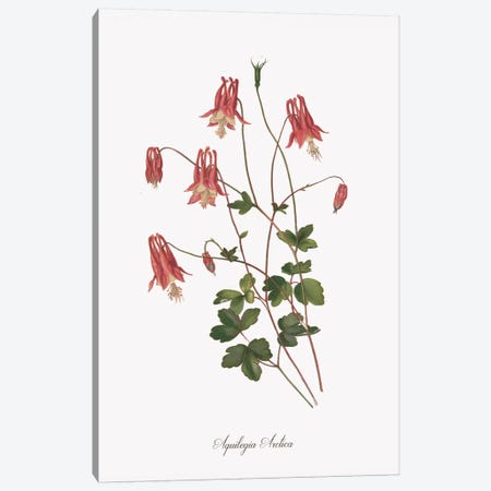Botanical Columbine Canvas Print #KDO18} by Kelly Donovan Canvas Art Print