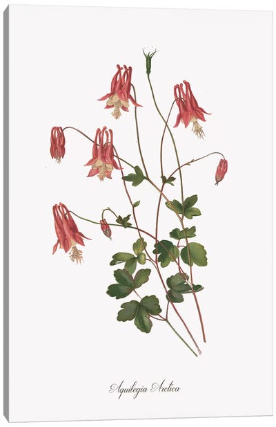 Botanical Columbine Canvas Art Print