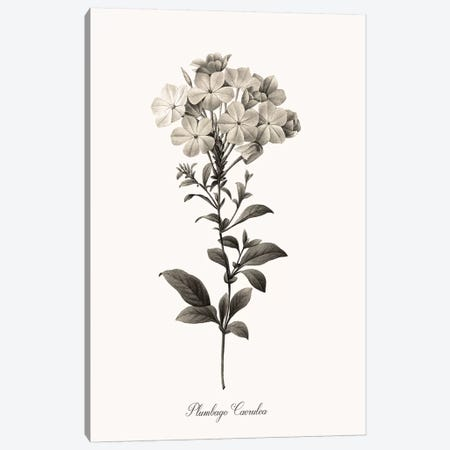 Sketchbook Leadwort Canvas Print #KDO25} by Kelly Donovan Canvas Art Print