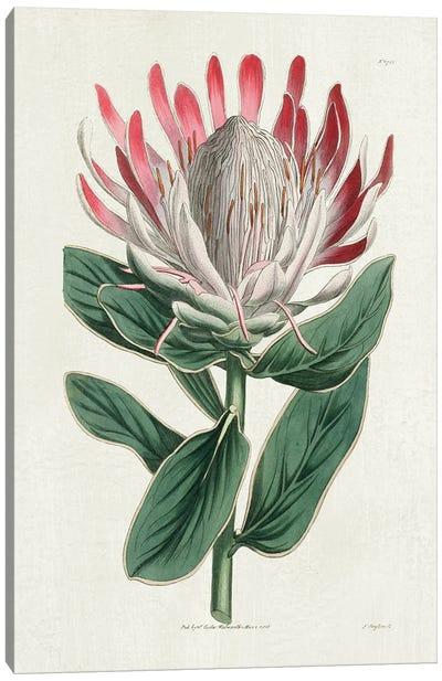 Protea N13 Canvas Art Print