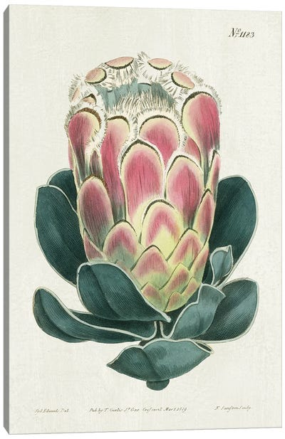 Protea N83 Canvas Art Print