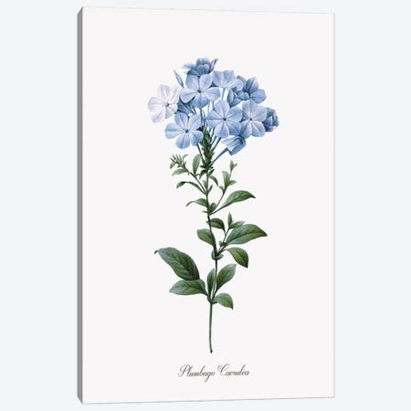 Cape Leadwort Canvas Print #KDO4} by Kelly Donovan Canvas Artwork