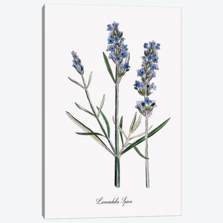 Lavender Canvas Print #KDO6} by Kelly Donovan Canvas Art