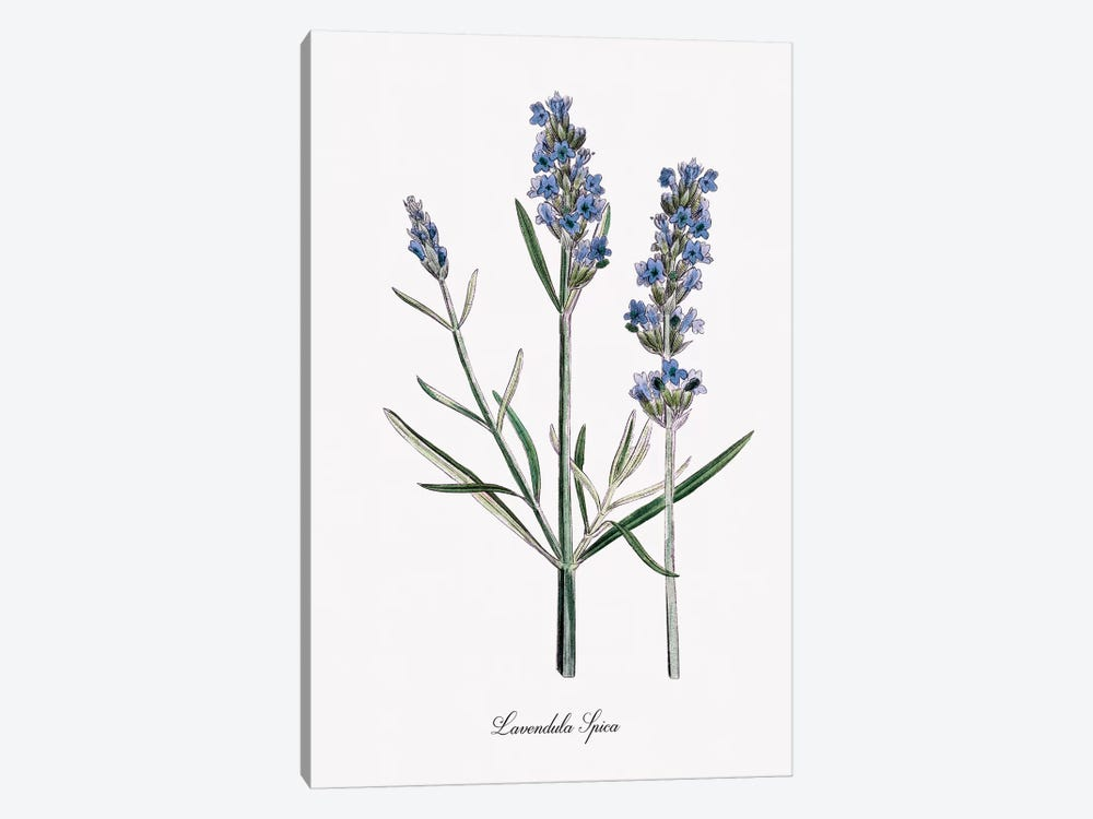 Lavender by Kelly Donovan 1-piece Canvas Artwork