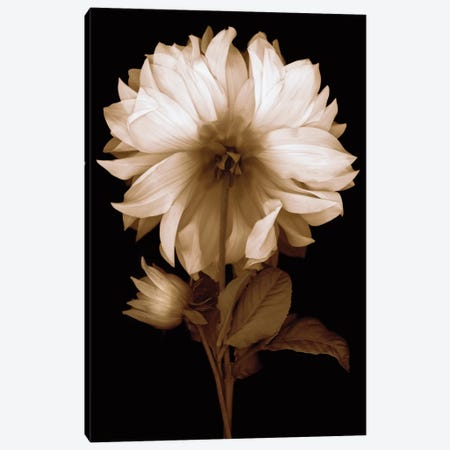 Dahlia II Canvas Print #KEL10} by Caroline Kelly Art Print