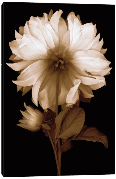 Dahlia II Canvas Art Print