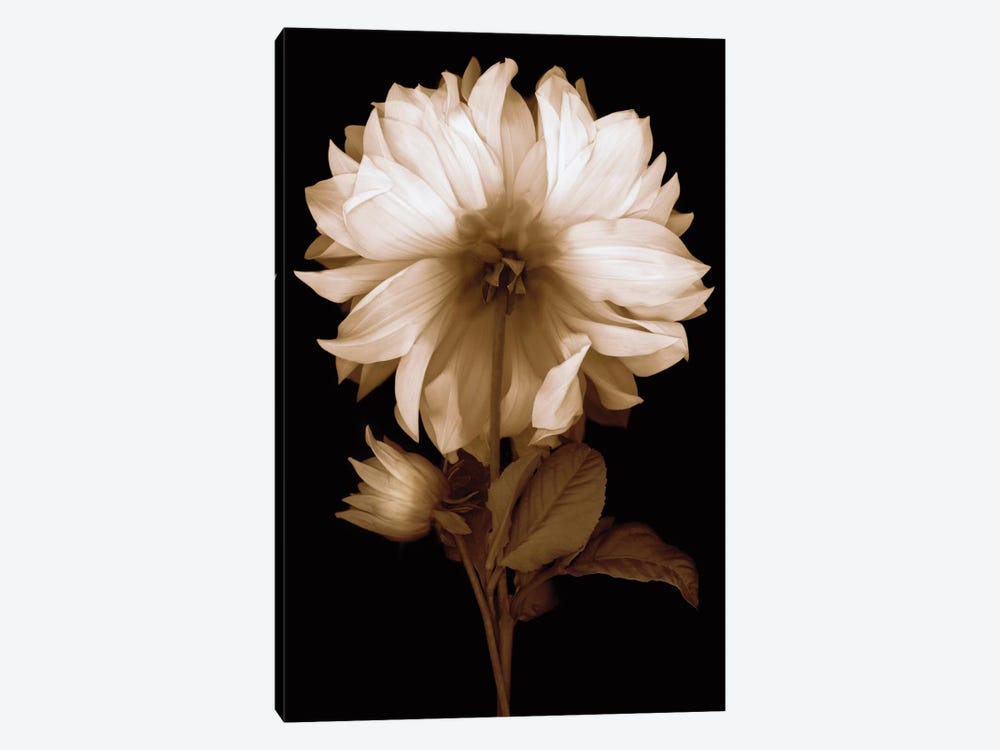 Dahlia II by Caroline Kelly 1-piece Canvas Art Print