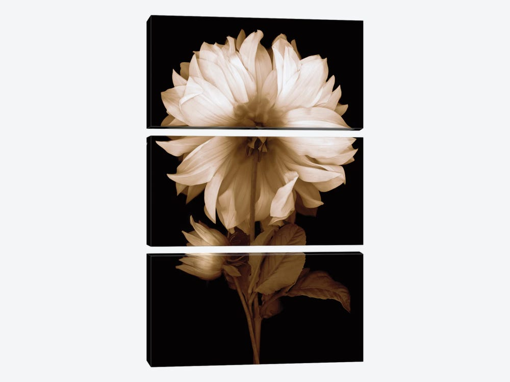 Dahlia II by Caroline Kelly 3-piece Art Print