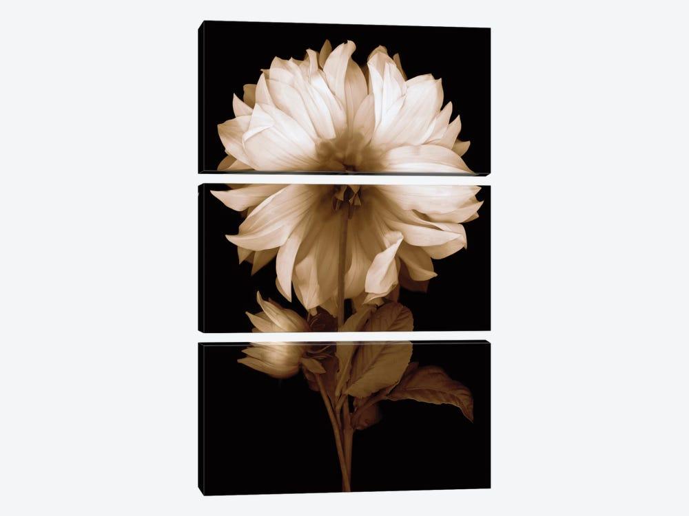 Dahlia II by Caroline Kelly 3-piece Art Print