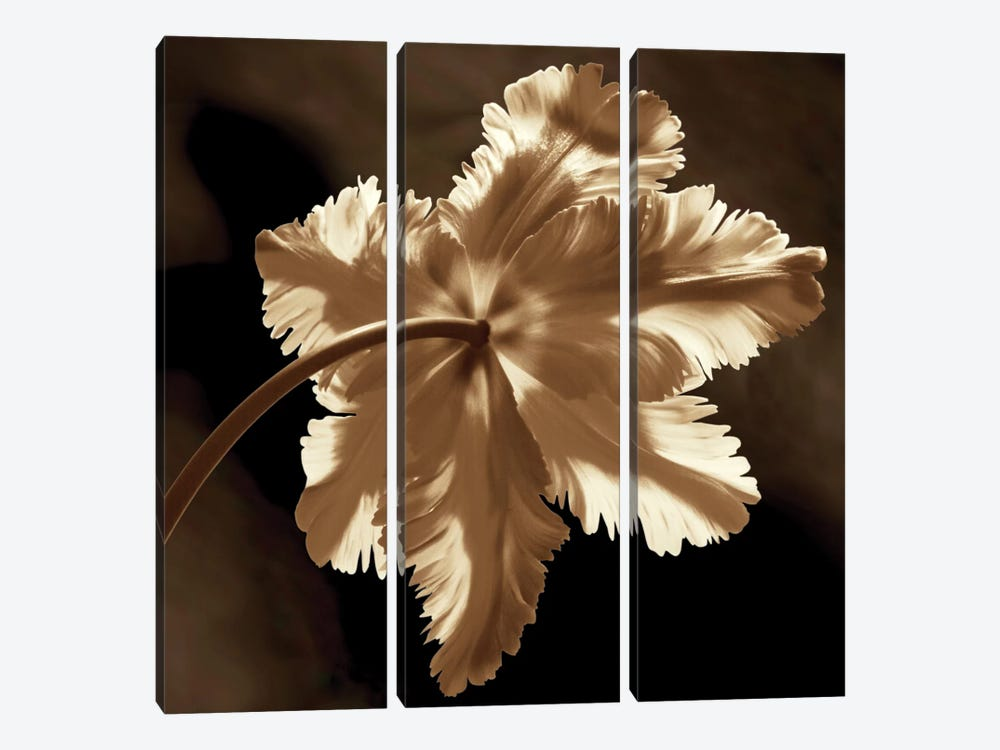 Parrot Tulip II by Caroline Kelly 3-piece Canvas Art Print