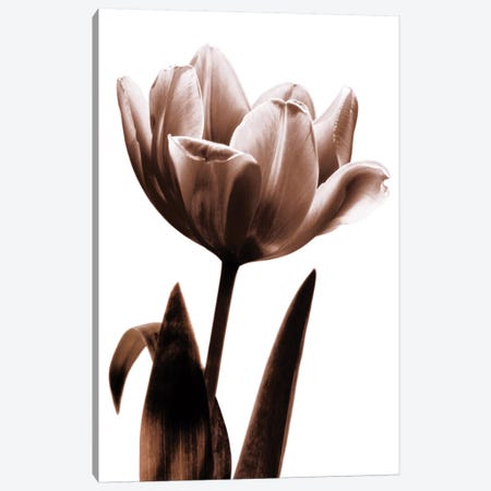Tulip In Sepia I Canvas Print #KEL50} by Caroline Kelly Canvas Art Print