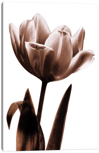 Tulip In Sepia I Canvas Art Print