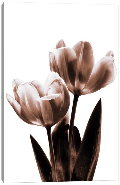 Tulip In Sepia II Canvas Art Print