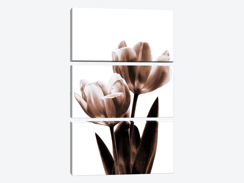 Tulip In Sepia II by Caroline Kelly 3-piece Canvas Artwork