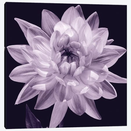 White Dahlia I Canvas Print #KEL52} by Caroline Kelly Canvas Print