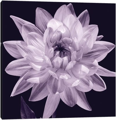 White Dahlia I Canvas Art Print