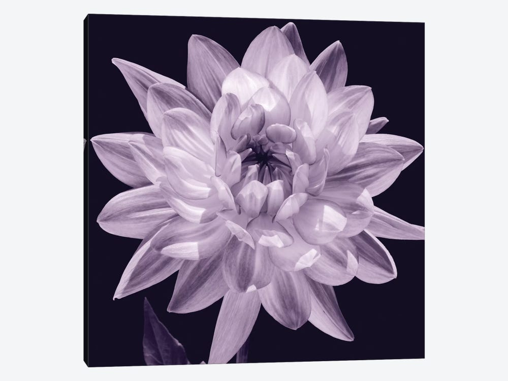 White Dahlia I 1-piece Canvas Art Print
