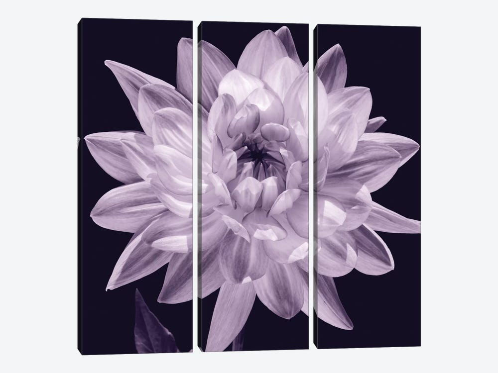 White Dahlia I 3-piece Canvas Art Print