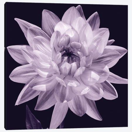 White Dahlia I 3-Piece Canvas #KEL52} by Caroline Kelly Canvas Print
